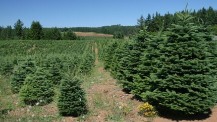 Reports of Christmas Tree Disease in Oregon Have Been ...