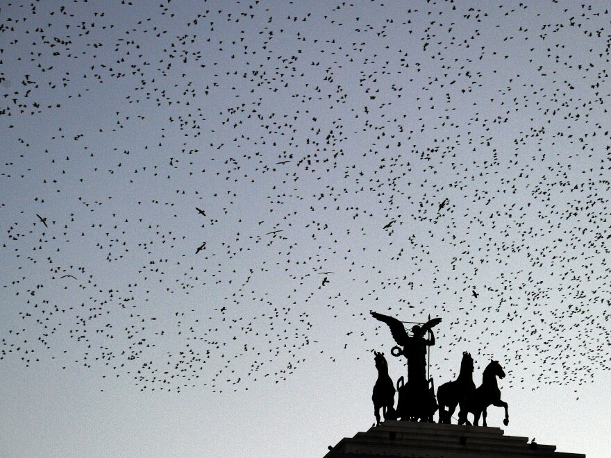 Starlings fly over the Piazza Venezia as night falls in Rome.