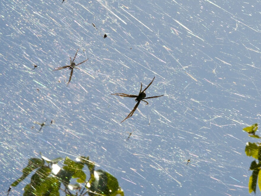 In the wet season, there are 40 times more spiders on Guam than there are on other nearby islands.