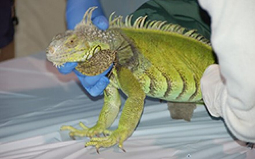 Adult Green Iguana