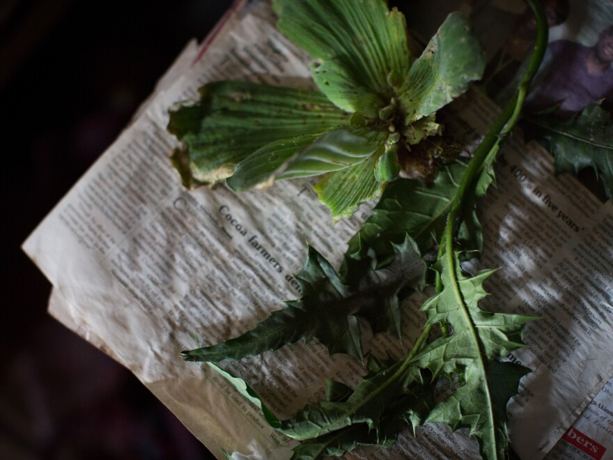 """In Nigeria, some herbalists use plants to induce abortions. These two herbs, called obyolulu and itwetu, are traditionally taken together to """"correct missed periods."""""""