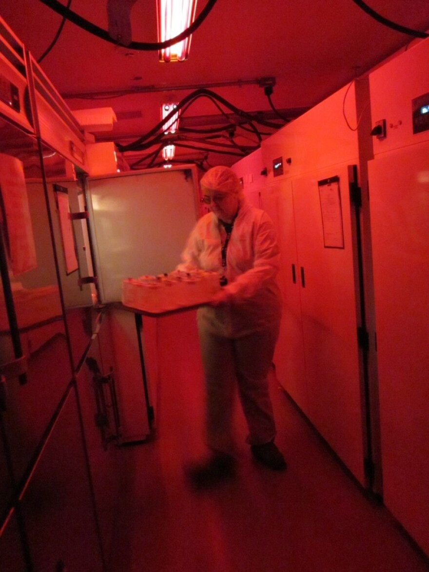 Kathy Tatman removes jars from an insect growth chamber at a quarantine lab at the U.S. Department of Agriculture's Beneficial Insects Introduction Research Unit. Most insects can't see red, so the red lights essentially keep the insects in the dark, making them less likely to fly around and escape.