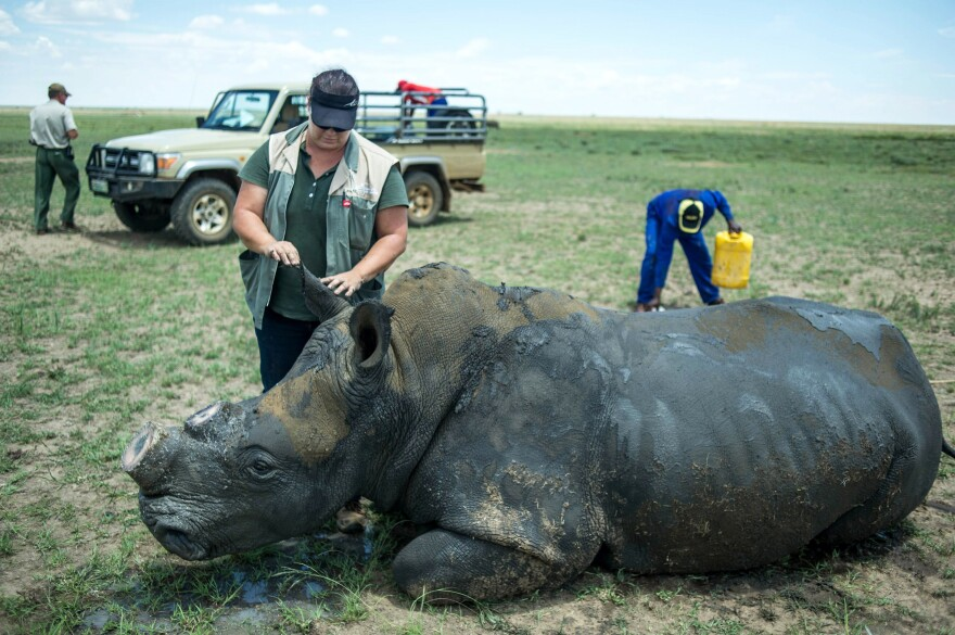 A rhino wakes up after its horn was trimmed at John Hume's Rhino Ranch in Klerksdorp, South Africa, on Feb. 3. South Africa's highest court is preparing to decide whether to uphold the country's domestic ban on trading rhino horn. John Hume is a private rhino owner and breeder who advocates for legalizing trade.
