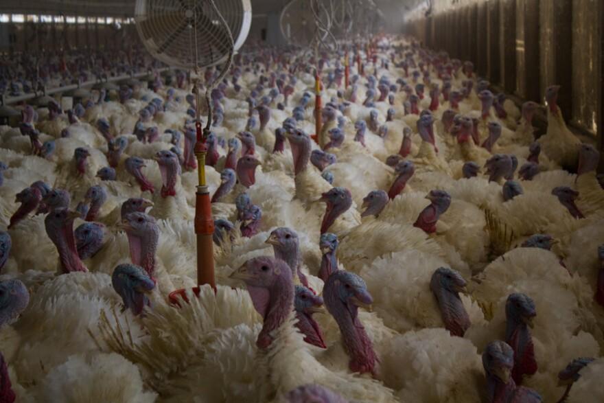 indoor-turkeys--barn-shot.jpg