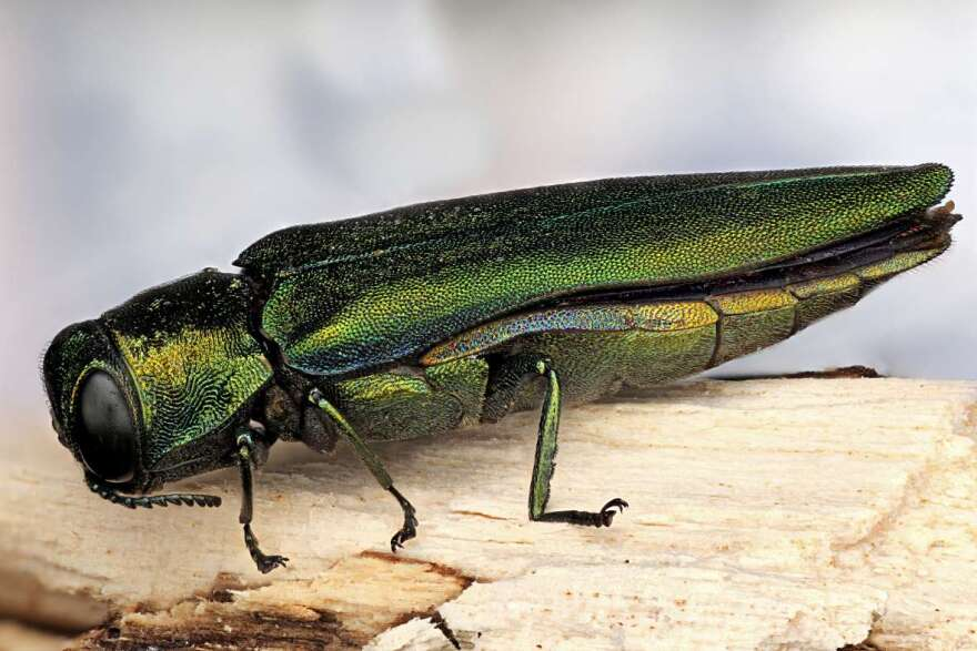 The emerald ash borer was first detected in Missouri in 2008. Since then, it has spread to 53 counties.