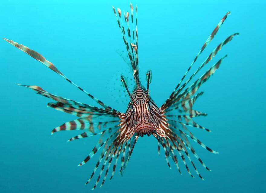 lionfish2_1.jpg