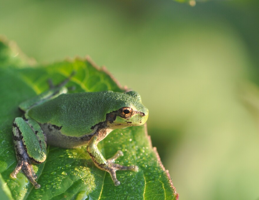 eastern_gray_treefrog_via_rachel_samerdyke_usfws_via_flickr_cc.jpg