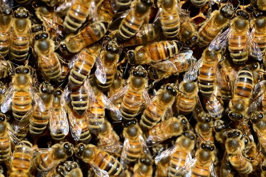 Honey Bees in Big group.jpg