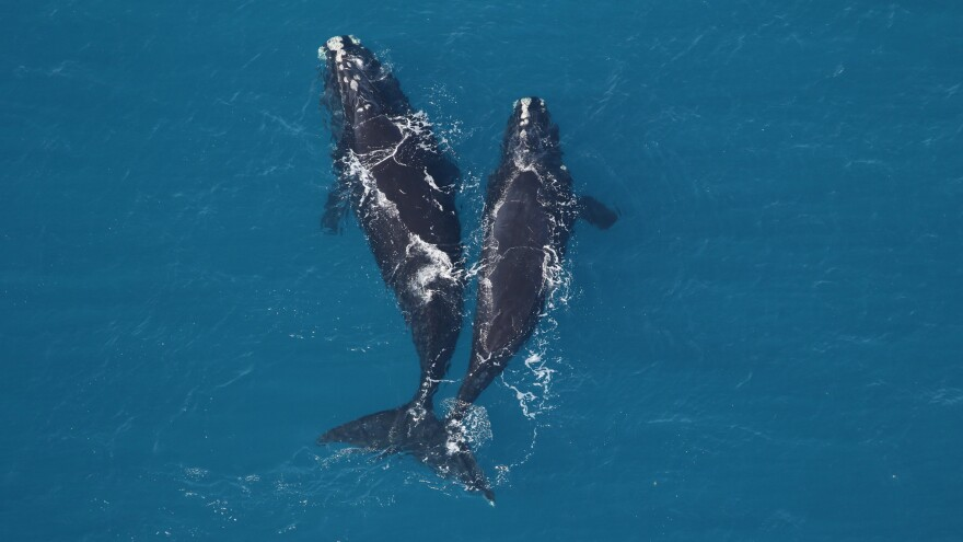 A 9-year-old female right whale (left) and a smaller right whale spotted earlier this month off the coast of Jekyll Island.
