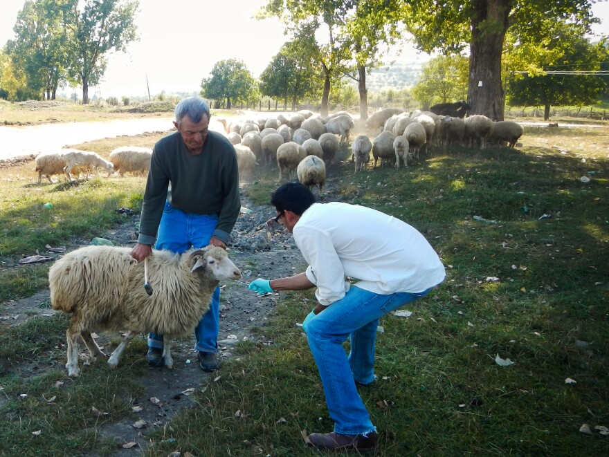Many viruses, such as cowpox, first infect animals and then jump to people. To stop outbreaks, the CDC often looks for viruses in livestock, such as in these Georgian sheep.
