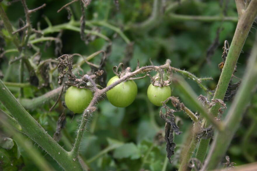 A close-up of three unripe tomatoes that sprouted from the unpressed biosolids pile at the Yellow Springs Wastewater Treatment Plant.