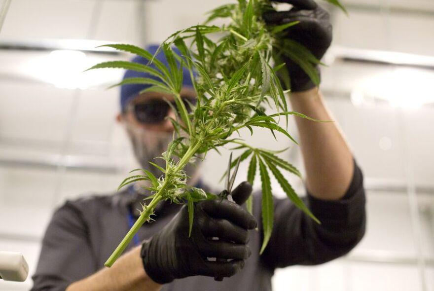 A man cuts a marijuana plant.