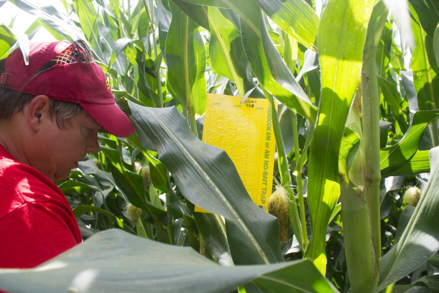 Rieck-Hinz places a sticky cardboard trap on a corn stalk. Researchers will count the number of rootworms that get stuck to it.