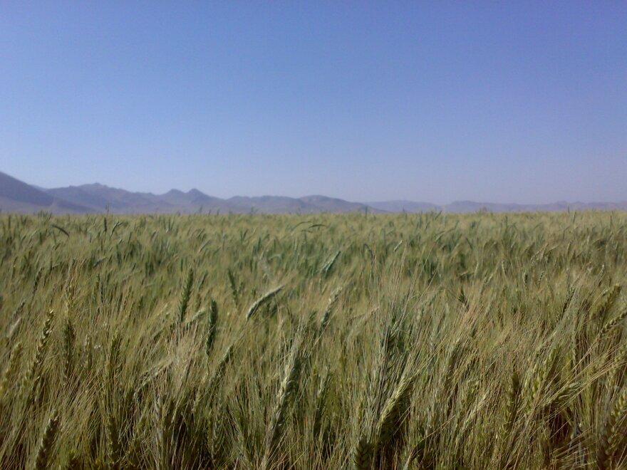 Grain_field_near_Kian.jpg