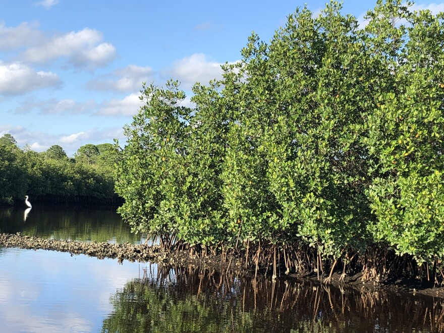 11-2019_mangroves_2_in_upper_tampa_bay_park.jpg