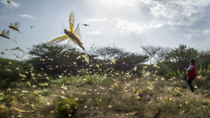 Desert locusts jump up from the ground and fly away as a cameraman walks past earlier this month in Kenya's Nasuulu conservancy.