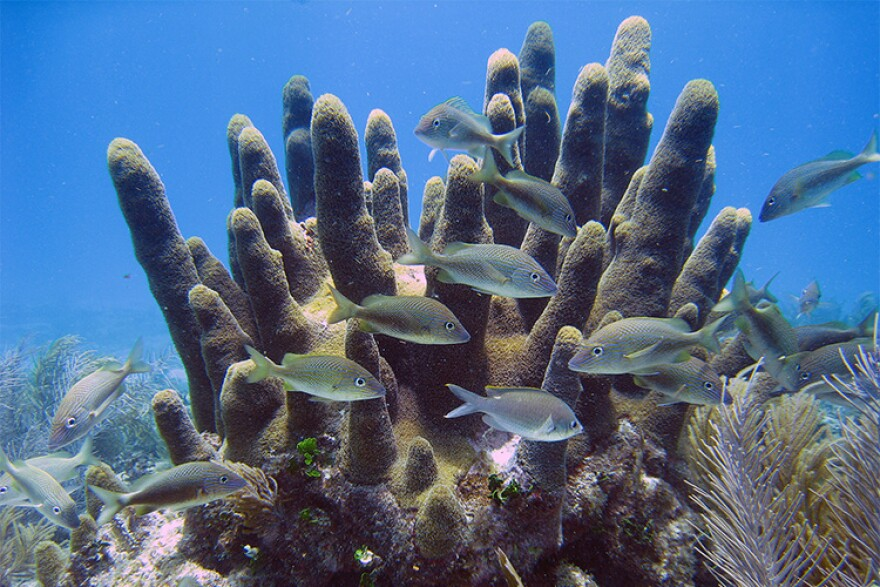 8-22-19_pillar_coral.jpg