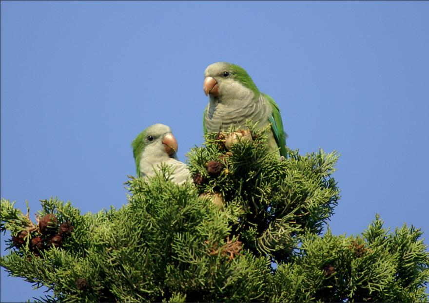 parakeet_2_-_courtesy_of_ferran_pestana.png