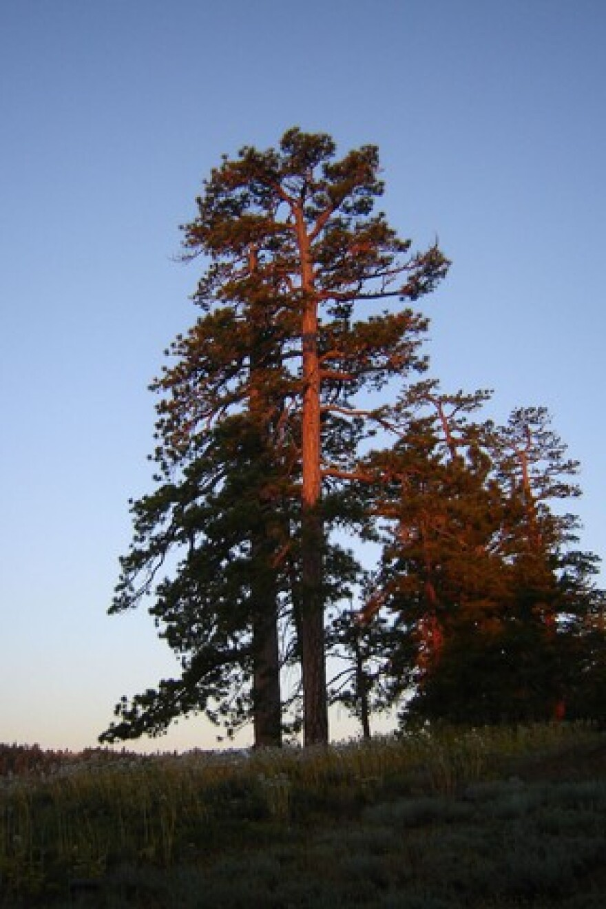 <p>An ancient Ponderosa pine at sunrise. Researcher Erika Wise said some of the ponderosa pine trees dated back to the 1400s.</p>