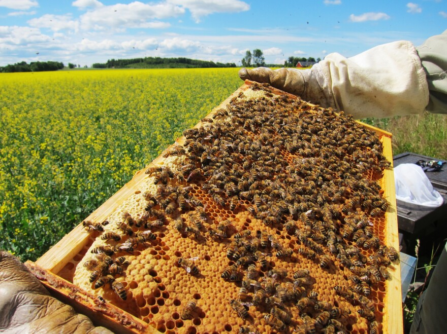 Researchers estimate the strength of a honeybee colony filled with busy bees tending their brood and food storage.