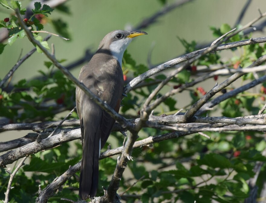 A photo of the yellow billed cuckoo.