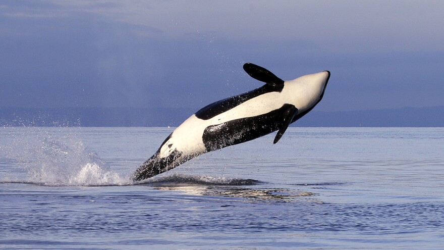 An endangered female orca leaps from the water while breaching in Puget Sound west of Seattle. The orca is from one of three groups of southern resident killer whales that frequent the inland waters of Washington state.