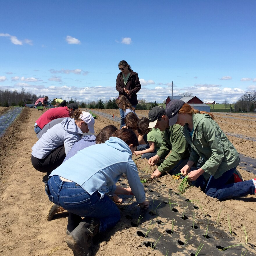 About 30 CSA members volunteered to plant Kent Family Growers' onion crop in upstate New York.