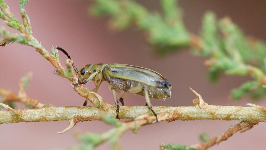 The tamarisk beetle (Diorhabda carinulata) eats a scaly-leafed invasive shrub that has spread across the West.