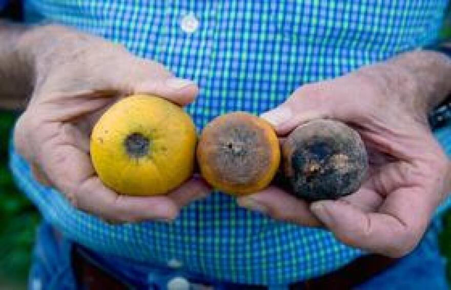 Fruit affected by the deadly citrus greening disease.