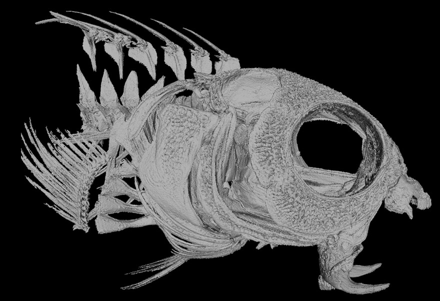 Ouch. Fangblennies have two large hollow fangs that deliver venom.