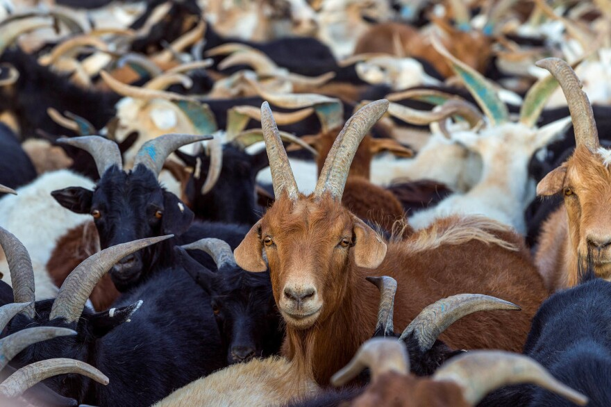"The so-called ""goat plague"" started out in the Ivory Coast and has spread as far as Mongolia, where goats (above) and sheep and antelopes and even camels are at risk."