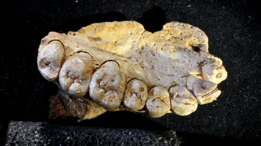 The fossil found in Misliya cave. Details of the teeth — their shapes and sizes relative to each other — helped scientists confirm that this belongs to <em>Homo sapiens</em>.