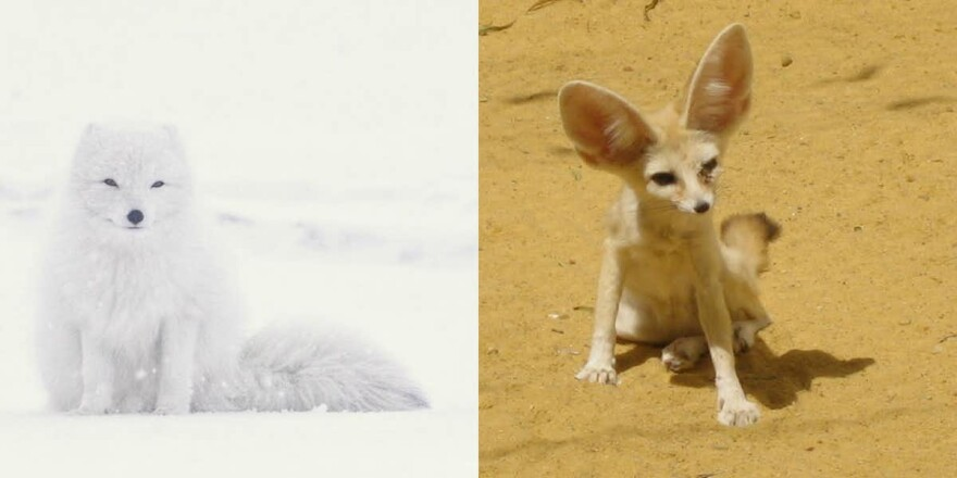 The large ears of a fennec fox would be a liability in a cold climate like where the arctic fox lives.
