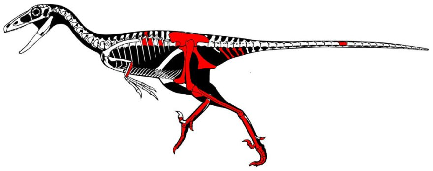 A skeletal reconstruction of <em>Talos sampsoni</em>, with the pieces of the raptor specimen found highlighted in red.