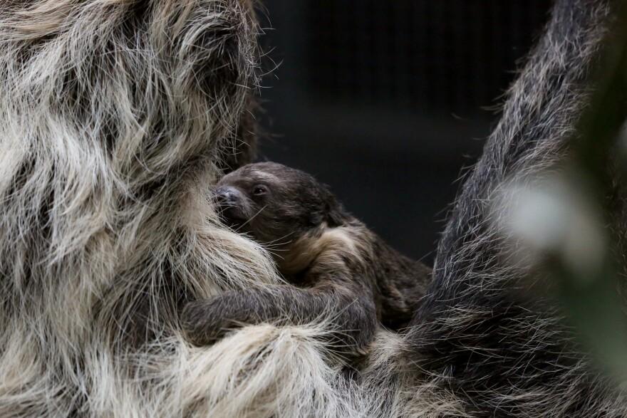 Sloth_Baby_Face.jpg
