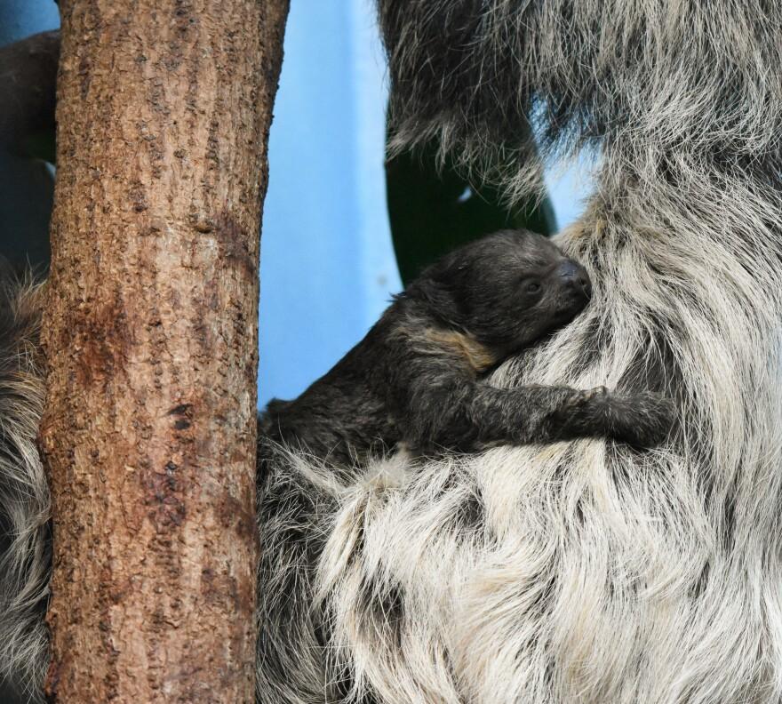 Sloth_Baby_Day2.jpg