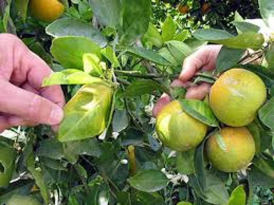 citrus_greening.jpg