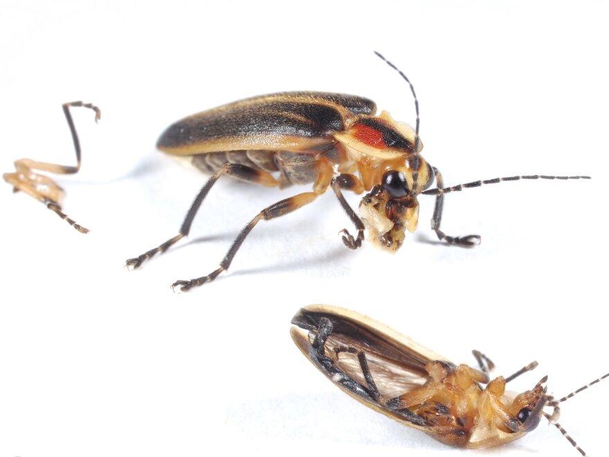 The <em>Photuris </em>female, consuming the soft parts she has eviscerated from a male <em>Photinus collustrans.</em>