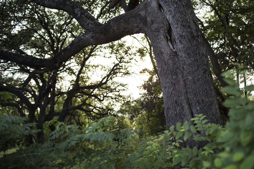 heritage-tree_South-Austin.jpg