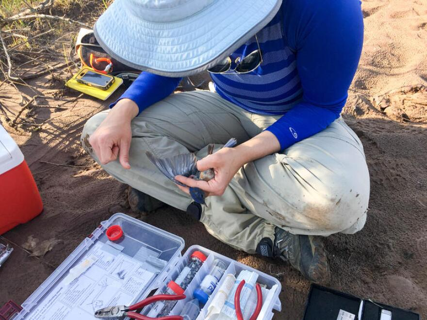 Graduate student Kathy Hixson prepares to draw blood from a male bluebird at the Madison County Mines Superfund Site in Fredericktown, Missouri.
