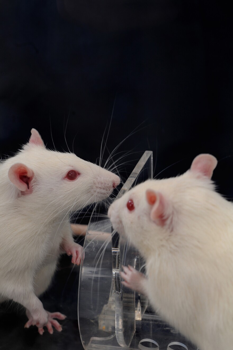 Researchers find that when one rat encounters another trapped in a restrainer, the free animal usually helps the trapped one by figuring out, as these two are doing, how to open the door to the trap. That helpful action happens faster and more consistently when there are multiple free rats.
