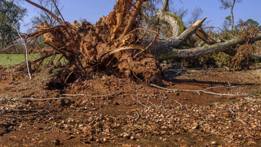 The rootball of a downed pecan tree on the Pine Knoll plantation. Hurricane Michael caused massive damage to pecan growers in the state.