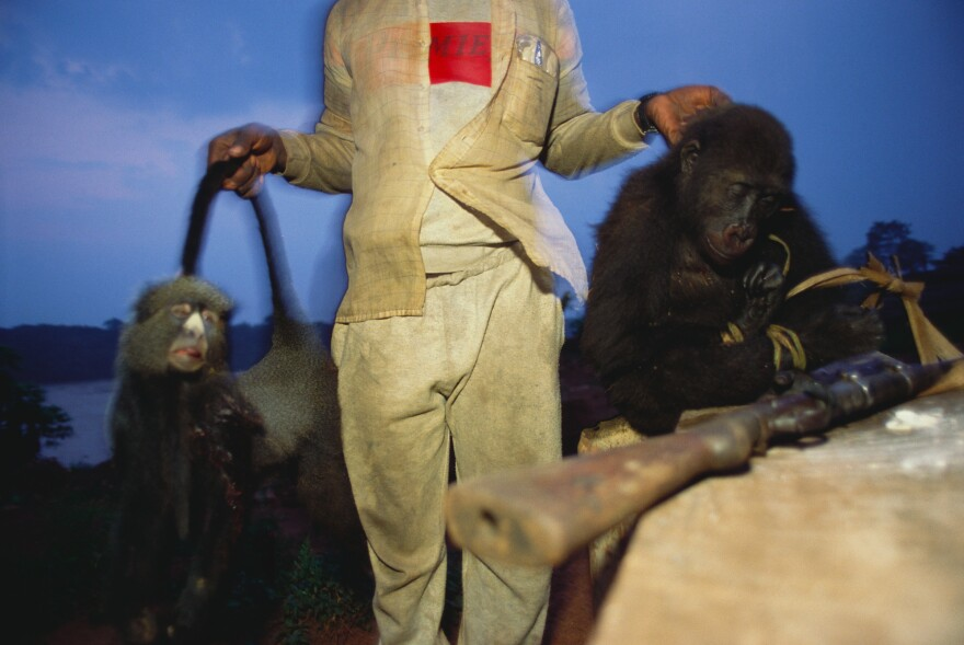 A man in the Congo displays two of the mammals he shot for dinner: a greater white-nosed monkey and a baby lowland gorilla.