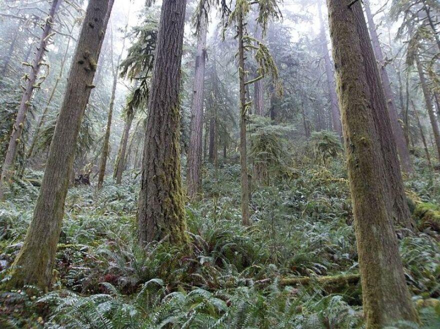 Oregon_forest.jpg