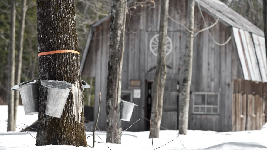 Sugar maple trees need snow to keep their roots warm. This allows them to grow fast enough to help maintain people's livelihoods while also absorbing carbon dioxide emissions.