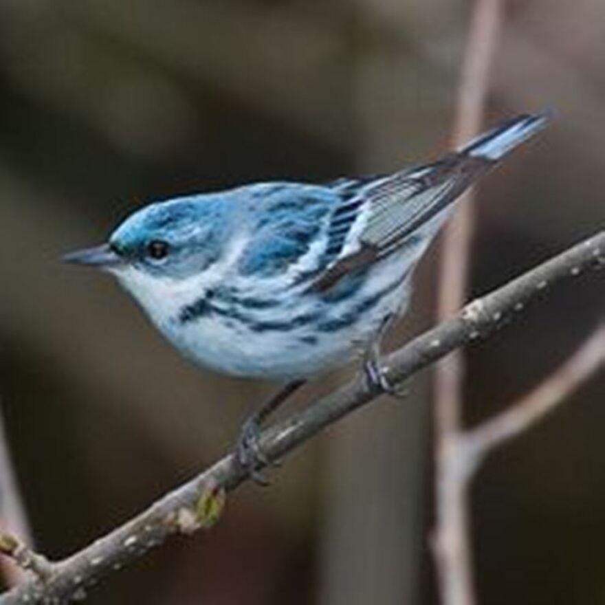 cerulean-warbler.jpg