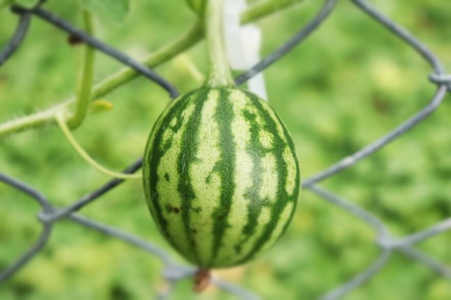 070120_Homesteader Survivalists_Watermelon