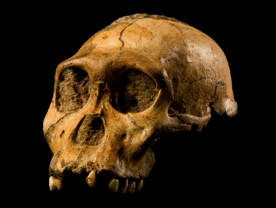 Australopithecus_Sediba_-_Transparent_Background.png