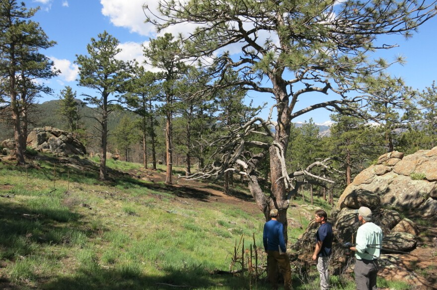 This is part of an 85-acre area of Hall Ranch that's been thinned and restored to be more like Colorado forests a century ago.