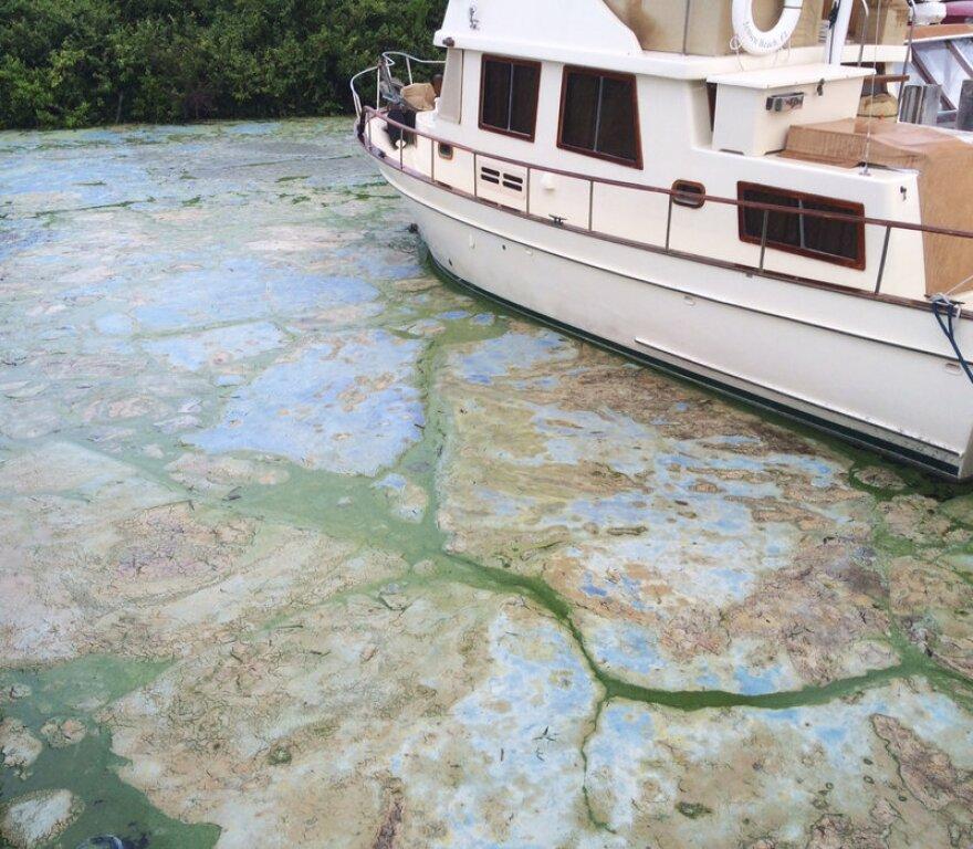 Algae-covered water at Central Marine boat docks in Stuart.